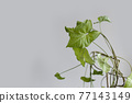 Beautiful Syngonium liana plant against a gray background. Empty white wall and copy space 77143149