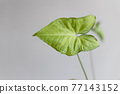 Evergreen leaves of Syngonium plant on a gray background. Caladium 77143152