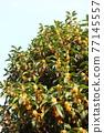 葉子 葉 樹葉 77145557
