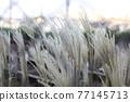 斑葉芒 接穗 植物 77145713