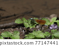 dragon-fly, dragonfly, bug 77147441