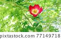 玫瑰 玫瑰花 花朵 77149718