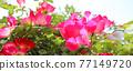 玫瑰 玫瑰花 花朵 77149720