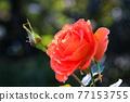植物 植物學 植物的 77153755