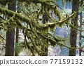 forest, woodland, tree 77159132