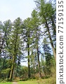 forest, woodland, tree 77159135