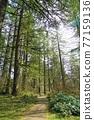 forest, woodland, wood 77159136