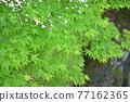 樹葉 紅葉 楓樹 77162365