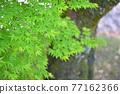 樹葉 紅葉 楓樹 77162366