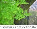 樹葉 紅葉 楓樹 77162367