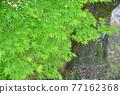植物 植物學 植物的 77162368