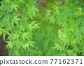 樹葉 紅葉 楓樹 77162371
