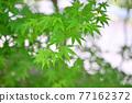 樹葉 紅葉 楓樹 77162372