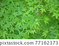 樹葉 紅葉 楓樹 77162373