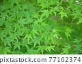 樹葉 紅葉 楓樹 77162374