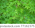 樹葉 紅葉 楓樹 77162375