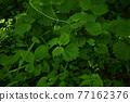 verdure, foliage, leaf 77162376
