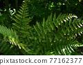 verdure, foliage, leaf 77162377