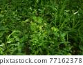 verdure, bloom, blossom 77162378