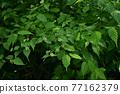 verdure, foliage, leaf 77162379