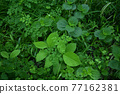 verdure, bloom, blossom 77162381