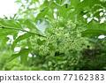 verdure, foliage, leaf 77162383