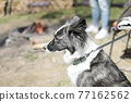 lean sad black-and-white Border Collie dog Sits thoughtfully on leash 77162562