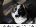 lean sad black-and-white Border Collie dog sits outdoors with his eyes closed 77162563