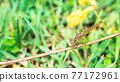Dragonfly hanging on the branch close up picture 77172961