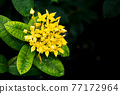 Close up picture of yellow flower west indian jasmine 77172964