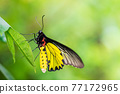 Close up image of golden birdwing butterfly hanging on green leaf 77172965