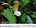 araceae, botanic, botanical 77176738