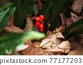 埋在枯葉中的Omoto堅果 77177203