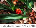 埋在枯葉中的Omoto堅果 77177204