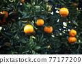 植物 植物學 植物的 77177209
