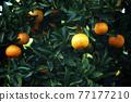 植物 植物學 植物的 77177210