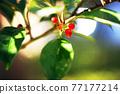 植物 植物學 植物的 77177214