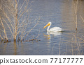 Close up shot of a Pelican swimming in the lake 77177777