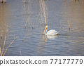 Close up shot of a Pelican swimming in the lake 77177779