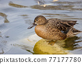 Close up shot of cute Cinnamon teal swimming in a pond 77177780