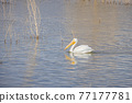 Close up shot of a Pelican swimming in the lake 77177781