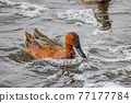 Close up shot of cute Cinnamon teal swimming in a pond 77177784