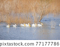 Close up shot of many Pelican swimming in the lake 77177786