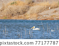 Close up shot of a Pelican swimming in the lake 77177787