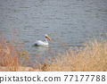 Close up shot of a Pelican swimming in the lake 77177788