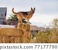 Close up shot of cute German Shepherd standing in a farm 77177790