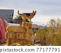 Close up shot of cute German Shepherd standing in a farm 77177791