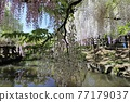 나라 만요 식물원 등나무 77179037