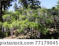 나라 만요 식물원 등나무 77179045