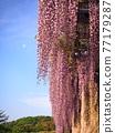 紫藤花 77179287